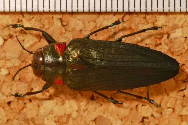 Bernard DUPONT, Jewel Beetle (Belionota coomani), CC BY-SA 2.0